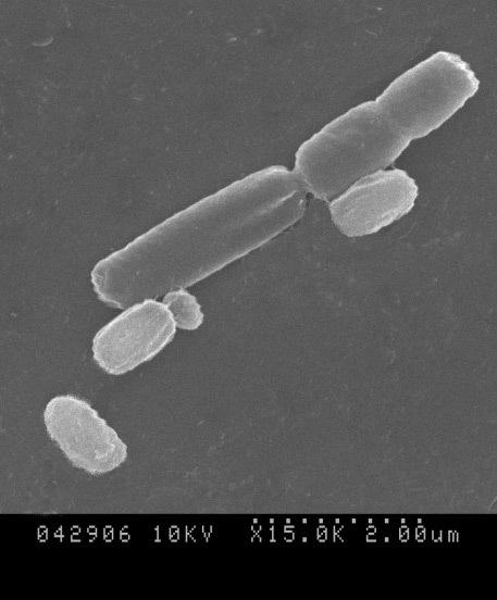 Image of <i>Bacillus subtilis</i>