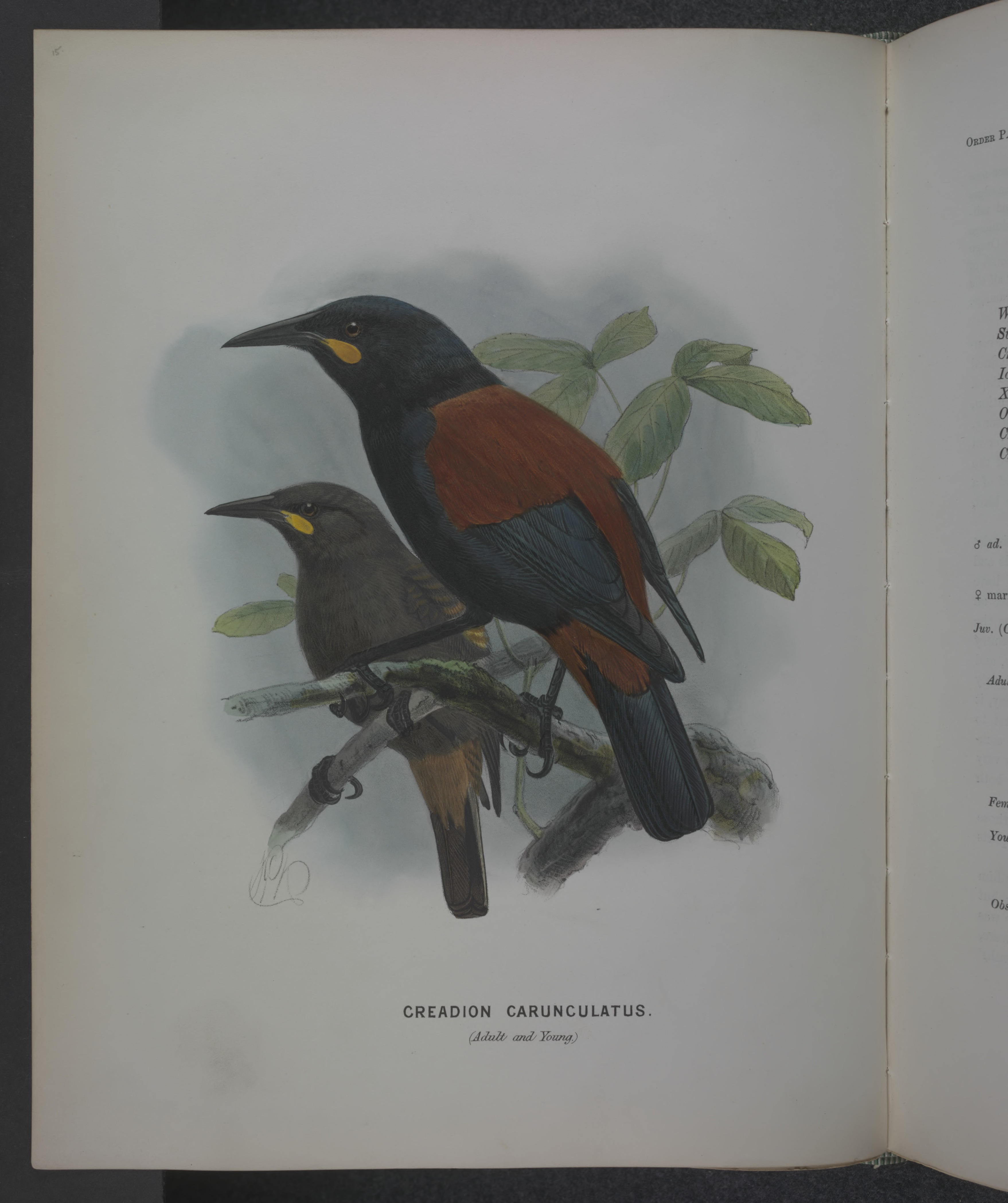 Image of South Island Saddleback