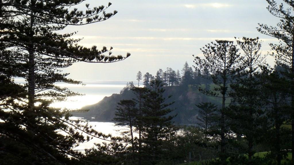 Image of norfolk island pine