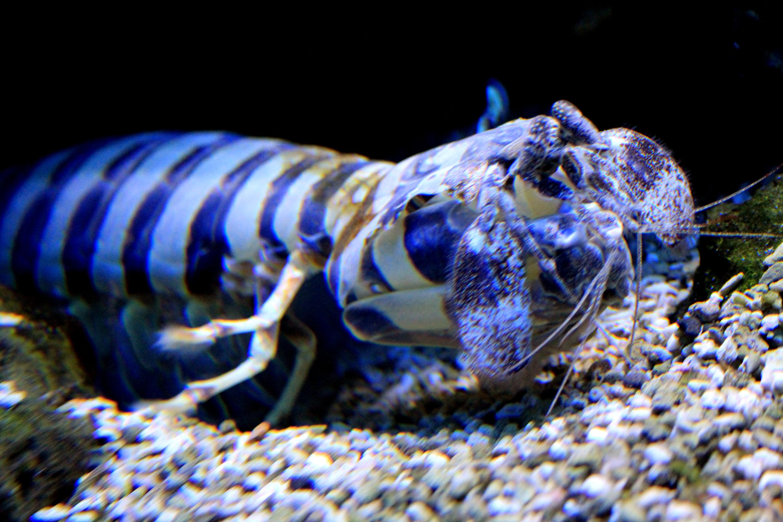 Image of zebra mantis shrimp