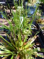 Image of <i>Luzula acuminata</i> Raf.