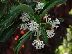 Image of Wild jasmine