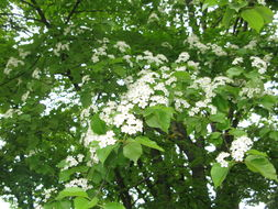 Image of Alder-leafed Whitebeam