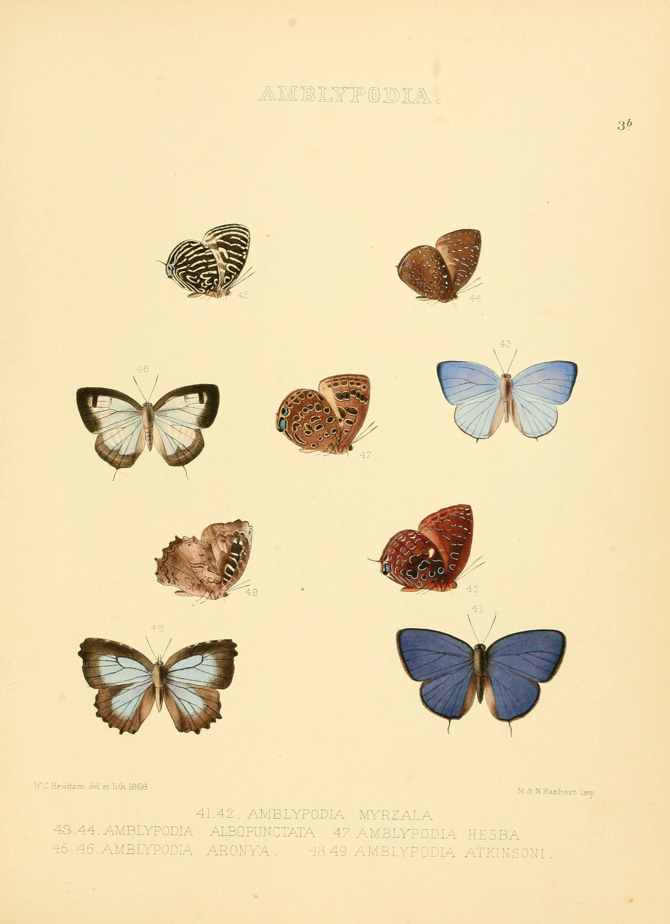 Image of <i>Apporasa atkinsoni</i> (Hewitson (1869))