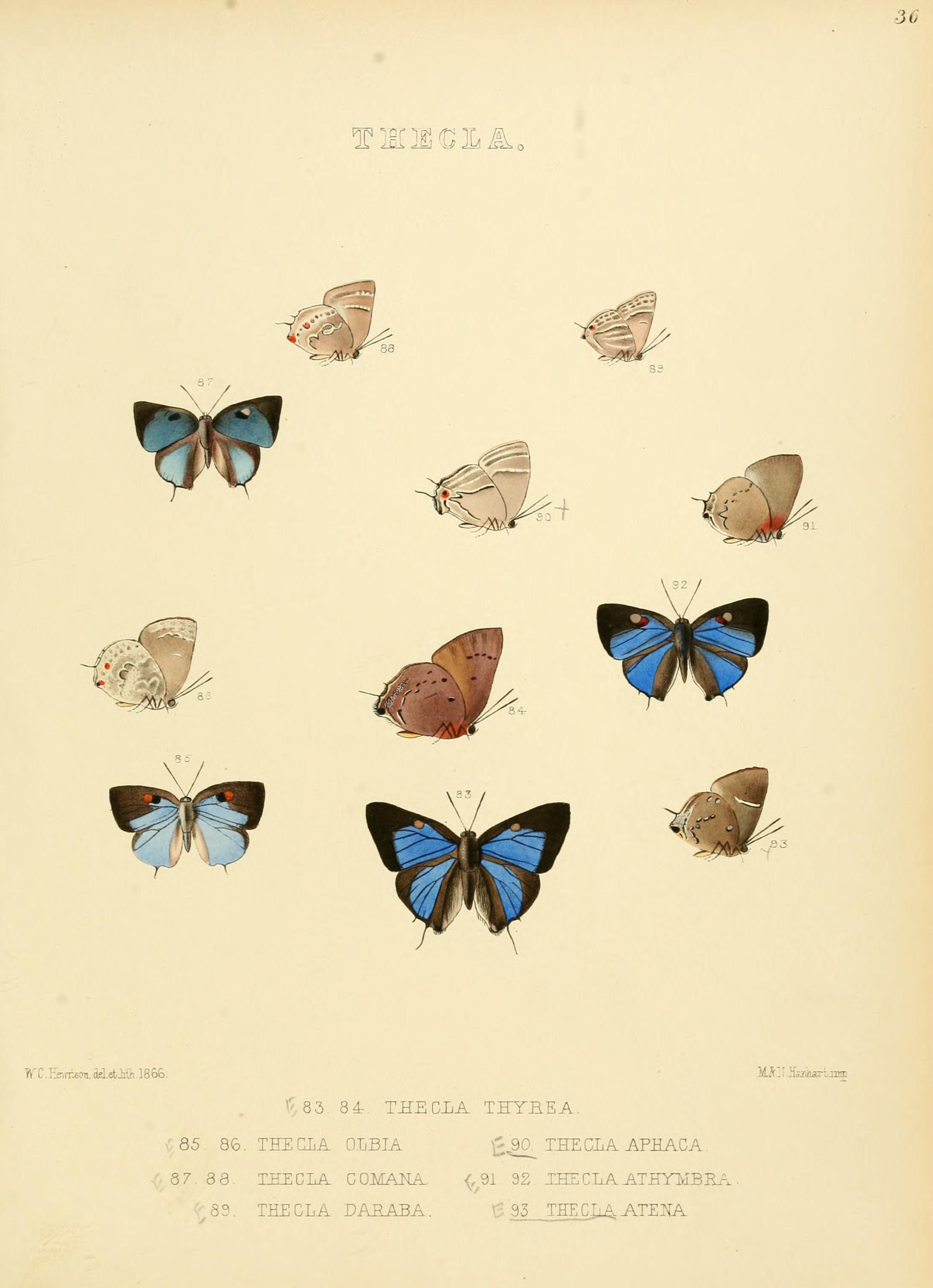 Image of <i>Thecla atena</i> Hewitson (1867)