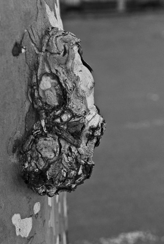 Image of <i>Ceratocystis platani</i> (J. M. Walter) Engelbr. & T. C. Harr. 2005