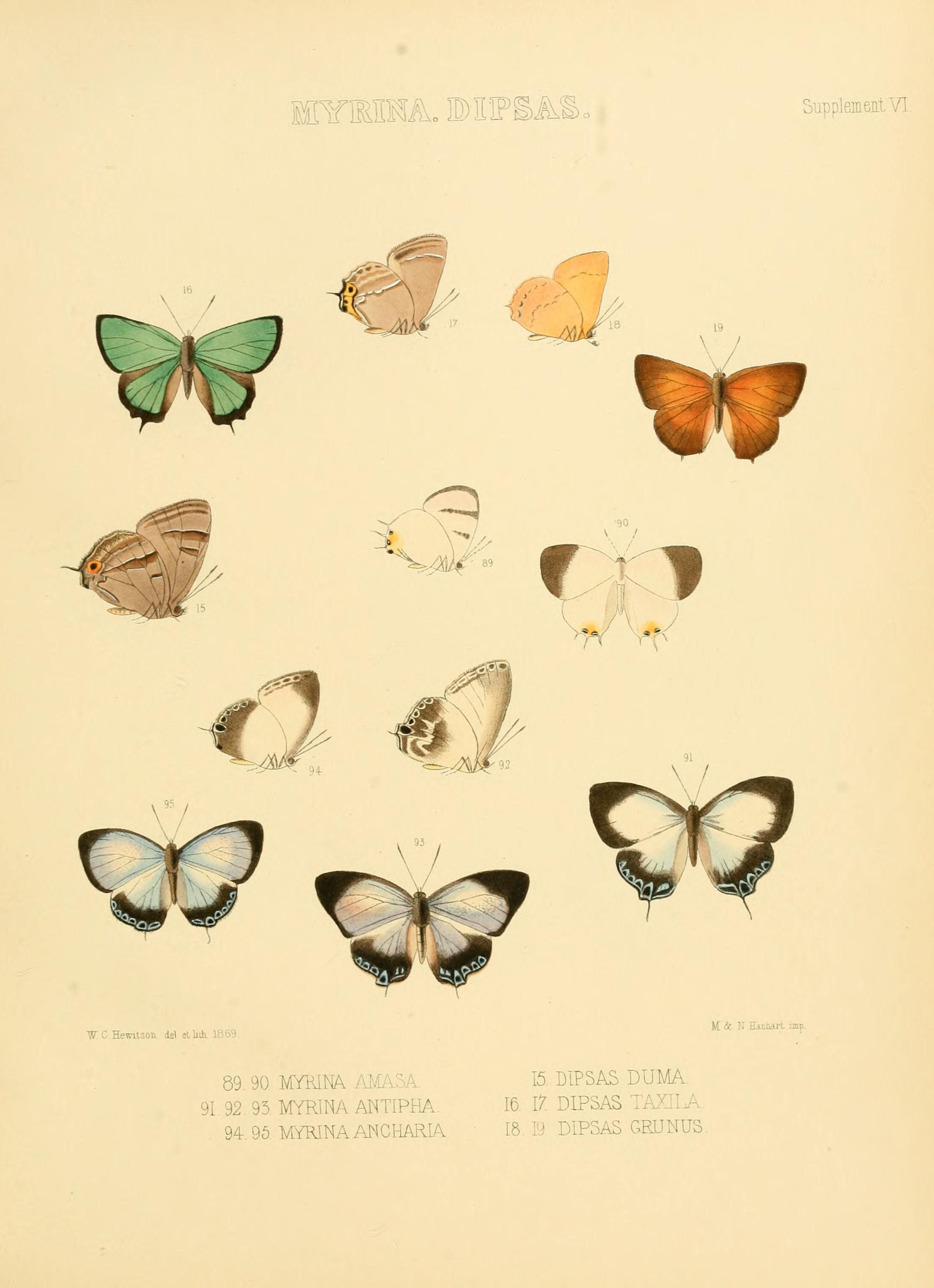 Image of <i>Favonius taxila</i>