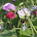 Image of pea