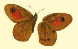 Image of <i>Neita neita</i> Wallengren 1875