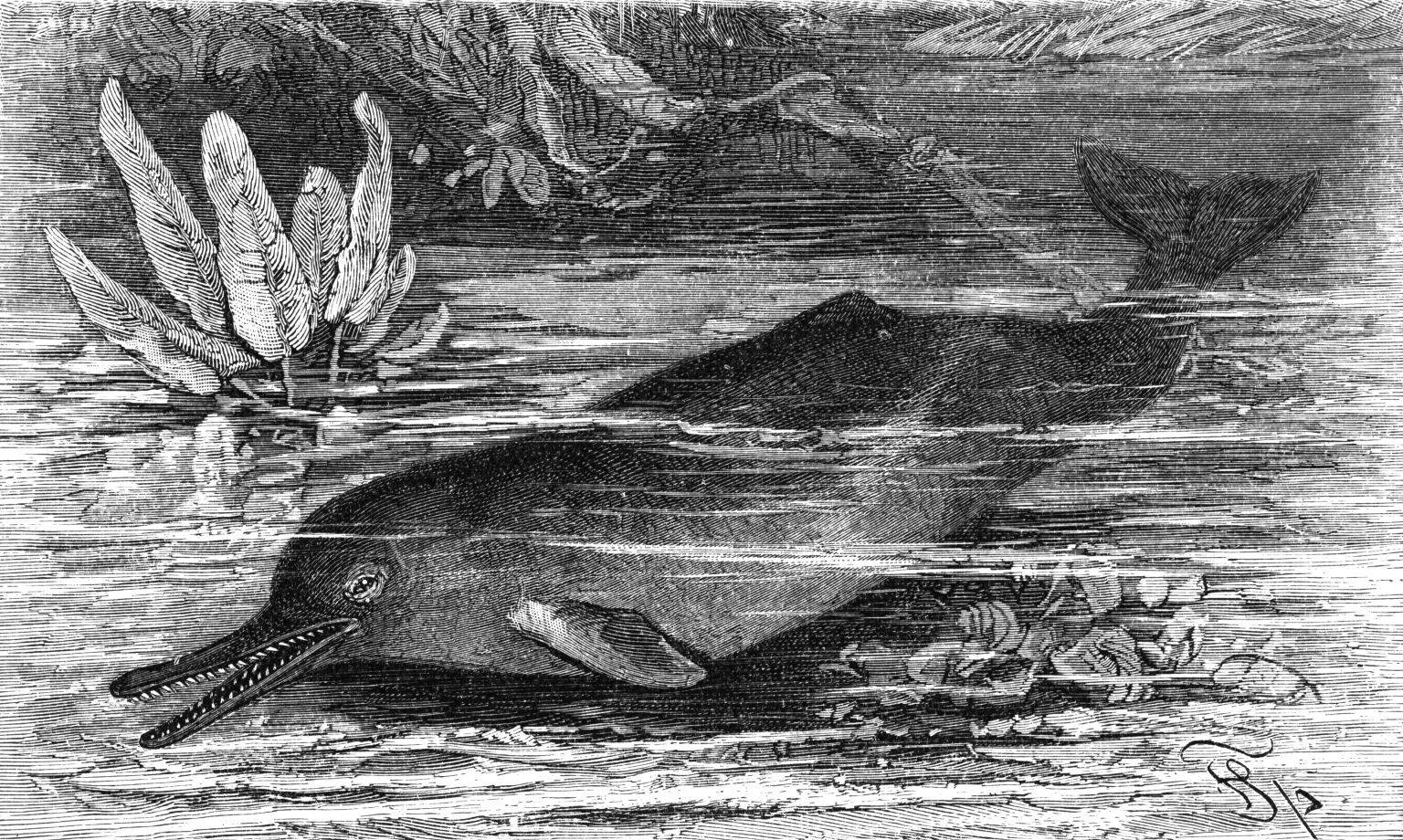 Image of Blind River Dolphin