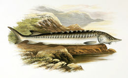 Image of Atlantic Sturgeon