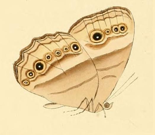 Image of <i>Hallelesis halyma</i> Fabricius 1793