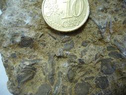 Image of Nummulites Lamarck 1801
