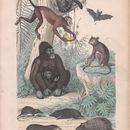Image of <i>Desmana moschata</i> (Linnaeus 1758)
