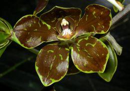 Image of Grammatophyllum