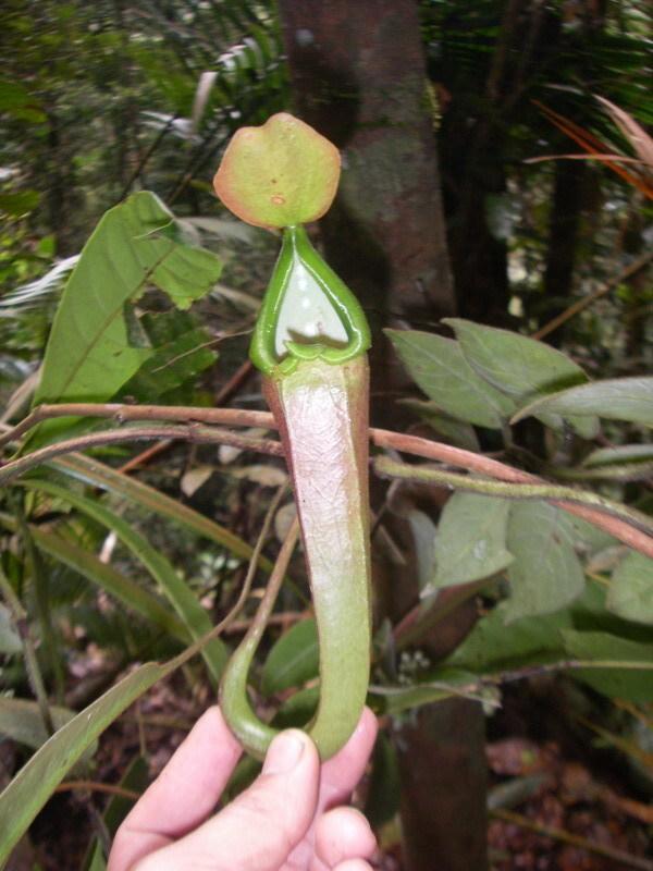 Image of <i>Nepenthes longifolia</i>