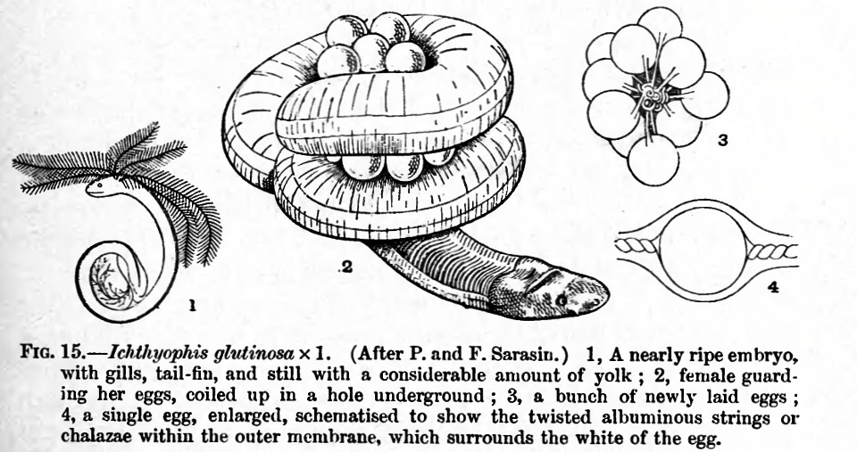 Image of Ceylon Caecilian