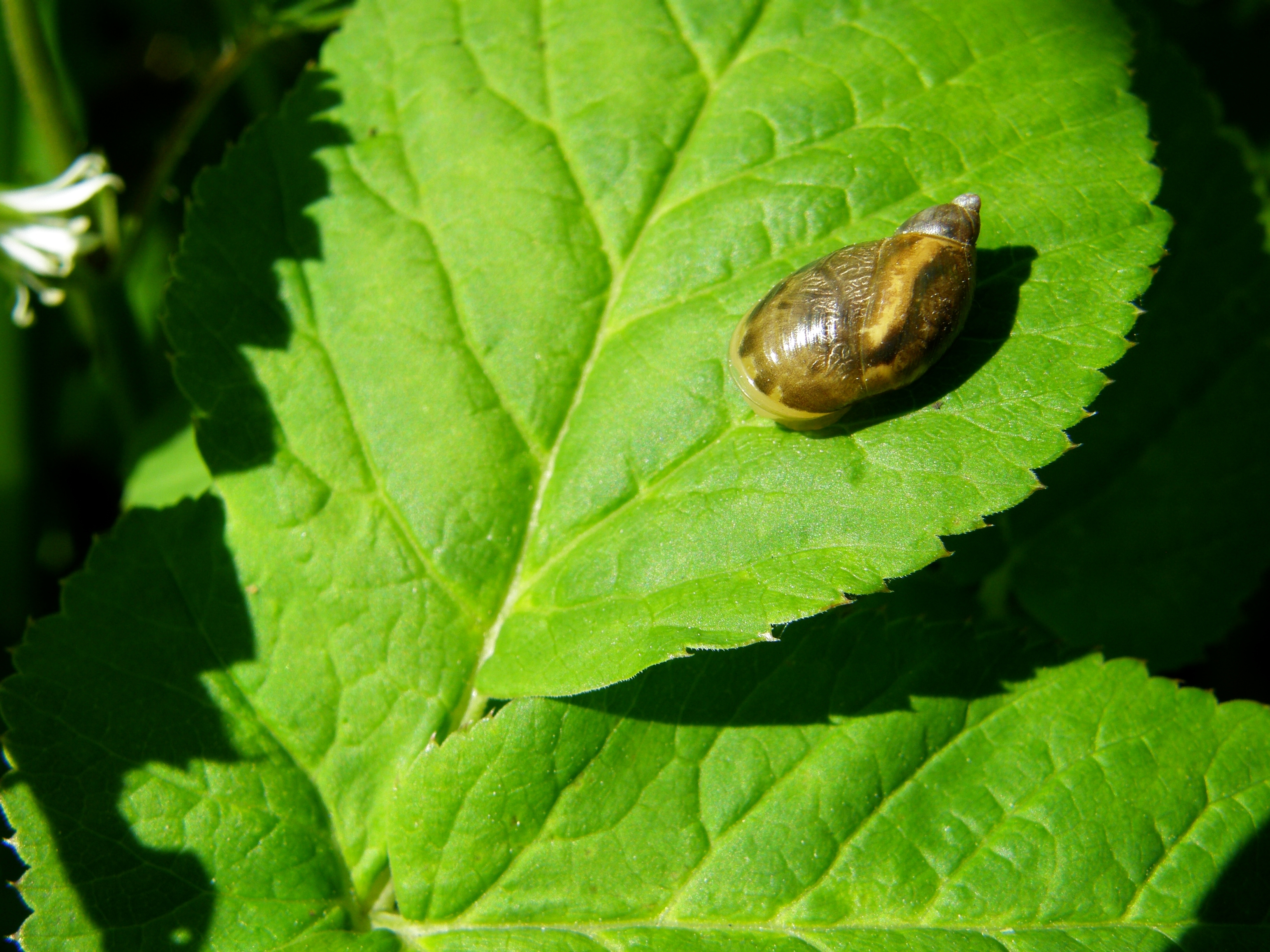 Image of amber snail