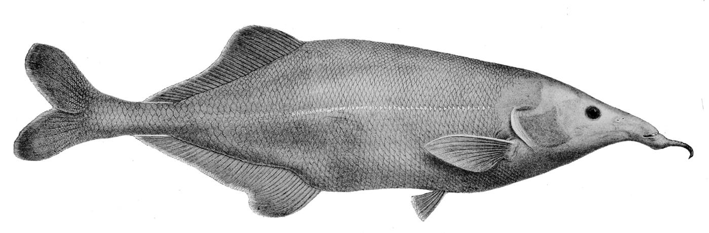 Image of <i>Genyomyrus donnyi</i> Boulenger 1898
