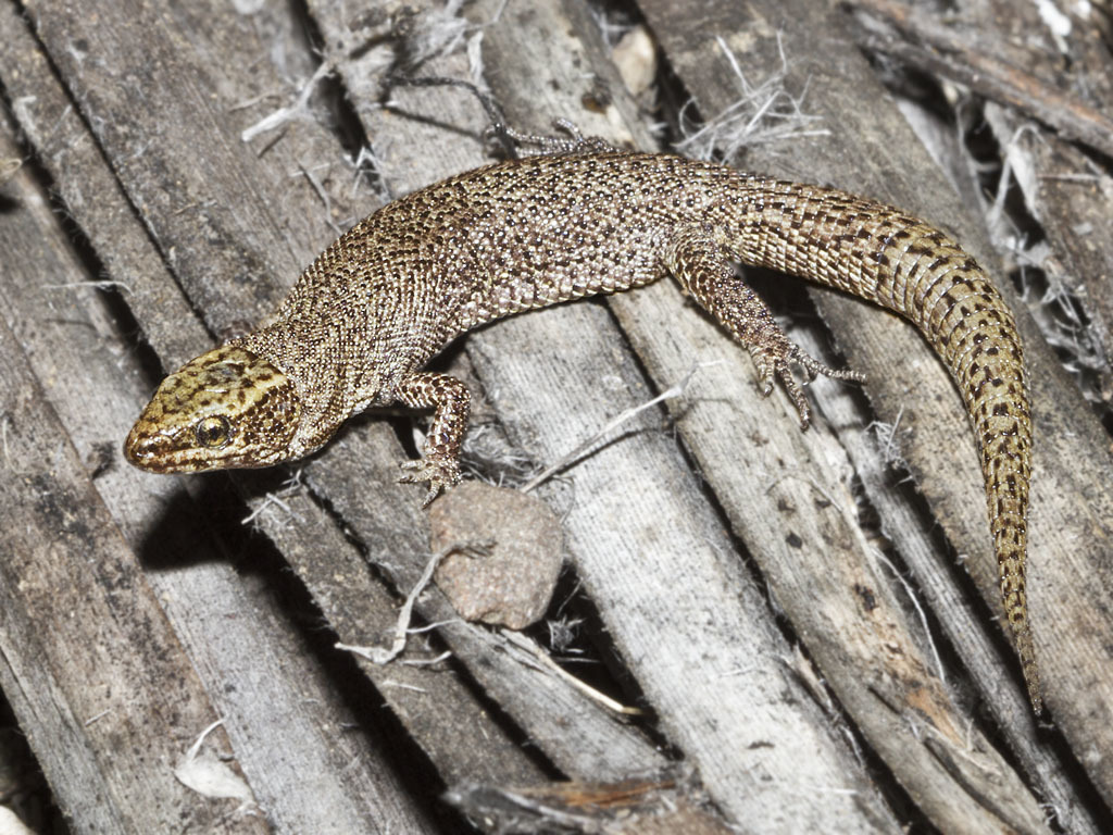 Image of Desert night lizard