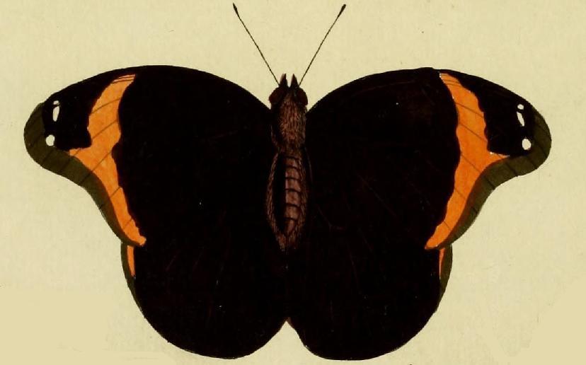 Image of <i>Catoblepia xanthus</i> Linnaeus 1758