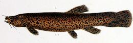 Image of <i>Trichomycterus rivulatus</i> Valenciennes 1846