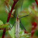 Image of <i><i>Austrolimnophila</i></i> (Austrolimnophila) <i>ochracea</i> (Meigen 1804)
