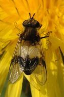 Image of <i>Leucozona lucorum</i> (Linnaeus 1758)