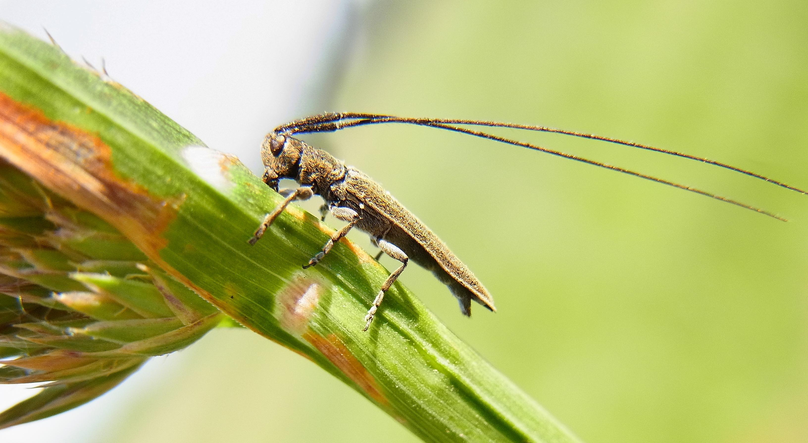 Image of Grain Borer