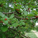 Image of black mulberry