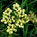 Image of Nuttall's prairie parsley