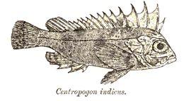 Image of waspfish