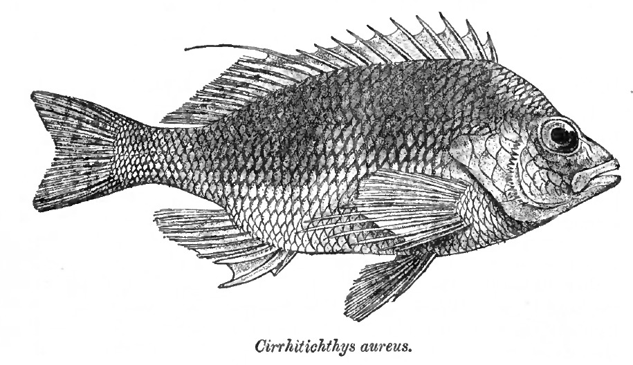 Image of Golden curlyfin