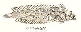 Image of Indonesia weedfish