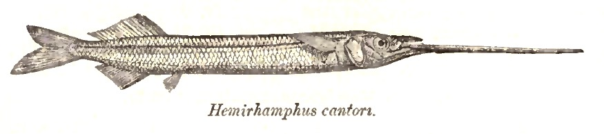 Image of Duckbill garfish
