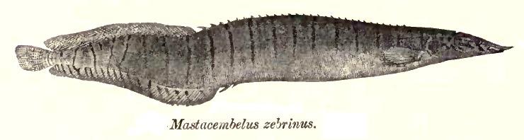 Image of zebra spiny eel