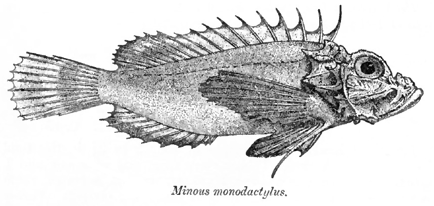 Image of Gray goblinfish