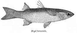 Image of <i>Liza macrolepis</i> (Smith 1846)