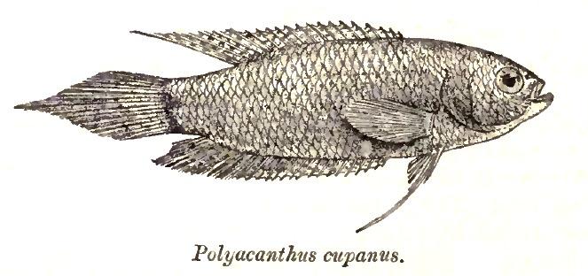 Image of Spiketail Paradise Fish