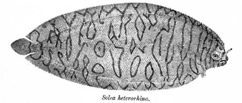Image of Aesop sole