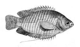 Image of <i>Colisa fasciata</i>