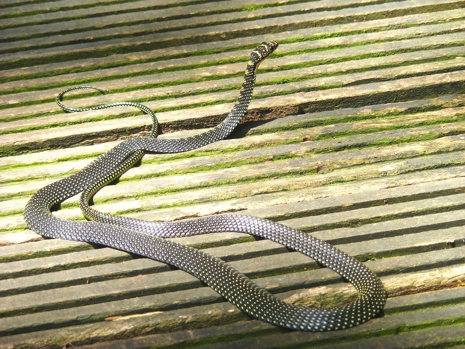 Image of Garden Flying Snake