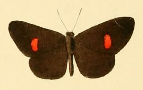 Image of <i>Pseuderesia eleaza</i> (Hewitson (1873))