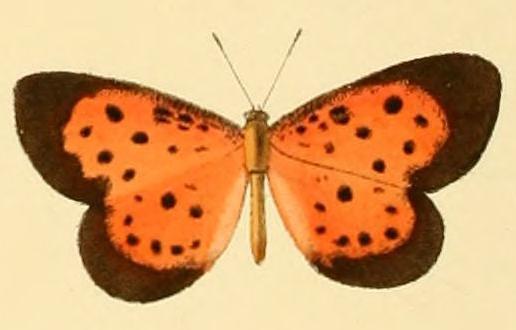 Image of <i>Pentila amenaida</i> Hewitson (1873)