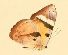 Image of <i>Euriphene lysandra</i> Stoll 1790