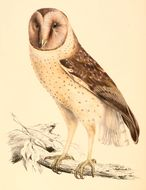 Image of African Grass Owl