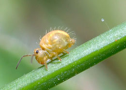 Image of Lucerne flea