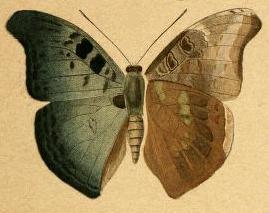 Image of <i>Euryphura nobilis</i> Staudinger 1891