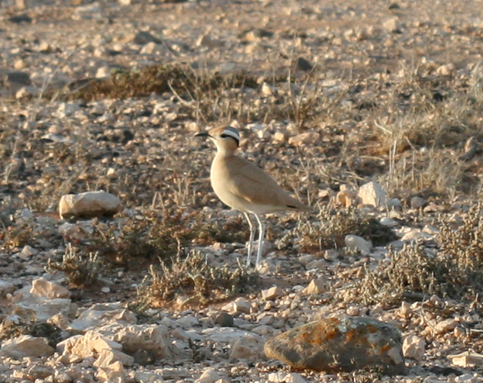 Image of Cream-colored courser