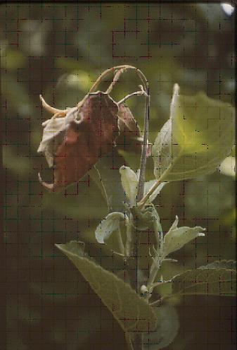 Image of <i>Erwinia amylovora</i>